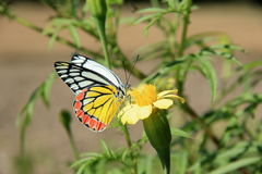 Butterfly-1. Royalty Free Stock Photo