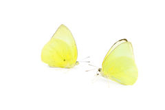 Butterfly yellow color
