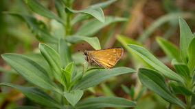 BUTTERFLY. Yellow colored butterfly sitting on a plant Royalty Free Stock Photos