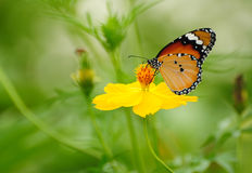 Butterfly on yellow Cosmos flower. Image of Butterfly on yellow Cosmos flower Stock Image