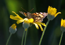 Butterfly on Yellow Daisy Royalty Free Stock Photos