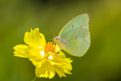 Butterfly on yellow daisy in nature Royalty Free Stock Image