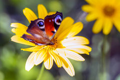 Butterfly on yellow daisy Royalty Free Stock Images