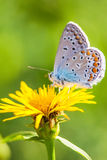 Butterfly on the yellow dandelion flower macro view Stock Photo