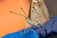 Butterfly with yellow eyes closeup Stock Photography