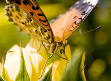 Butterfly on yellow flower�closeup Royalty Free Stock Photos