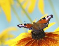 Butterfly on yellow flower. Butterfly emperor moth on yellow flower stock image