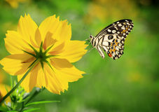 Butterfly and yellow flower Royalty Free Stock Photo