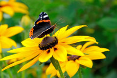 The butterfly on yellow flower Royalty Free Stock Photos