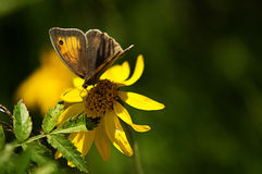 Butterfly on yellow flower. Brown butterfly on yellow flower with green leaf Royalty Free Stock Photos