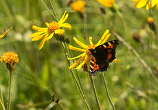 Butterfly on yellow flower. Butterfly and yellow flowers in summer day Royalty Free Stock Images