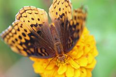 Butterfly on yellow flower. Macro overhead view of butterfly on yellow flower with green background Stock Image