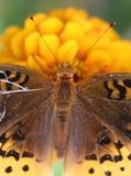 Butterfly on yellow flower. Macro overhead view of butterfly on yellow flower Stock Photography