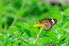 Butterfly on yellow flower Royalty Free Stock Photography