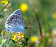 Butterfly on yellow flower. Varicoloured butterfly sits on a yellow flower and collects nectar Stock Photos