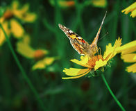 Butterfly and yellow flower. Close up yellow butterfly on a flower on a green background Royalty Free Stock Photos