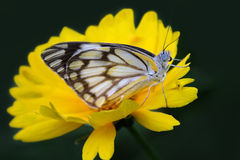 Butterfly on yellow flower. Royalty Free Stock Photography