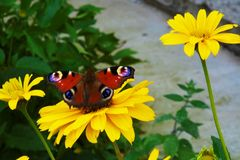 Butterfly on a yellow flower Royalty Free Stock Photo