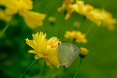 Butterfly on yellow flower. Stock Photography