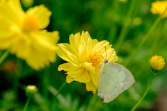 Butterfly on yellow flower. Royalty Free Stock Image