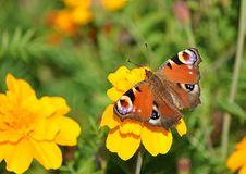 Butterfly and yellow flower Royalty Free Stock Image