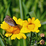 Butterfly on yellow flower Stock Image