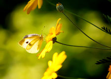 Butterfly on Yellow Flower Royalty Free Stock Image