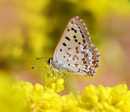 Butterfly on a Yellow Flower. Great Copper Butterfly on a Yellow Flower. Looks very similar to a hairstreak butterfly stock photography