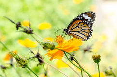 Butterfly on yellow flower royalty free stock images