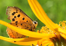 Butterfly in yellow flower Royalty Free Stock Photos