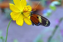 Butterfly on a yellow flower. Orange and black butterfly on a yellow flower in a butterfly garden in Mindo, Ecuador stock photos