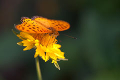 Butterfly on yellow flower Stock Photography