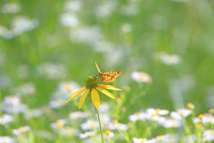 Butterfly on a yellow flower Stock Images