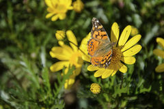 Butterfly on a yellow flower Royalty Free Stock Photography