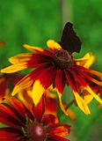 Butterfly on a yellow flower rudbeckia closeup Royalty Free Stock Photo