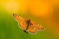 Butterfly on yellow flower with shallow depth Royalty Free Stock Image