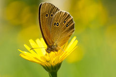 Butterfly on yellow flower Stock Photos