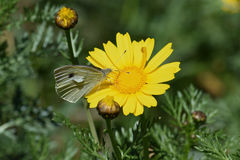 Butterfly on yellow flower springtime nature Royalty Free Stock Photos