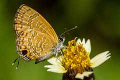 Butterfly and yellow flowers Stock Photography