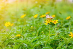 Butterfly on yellow flowers nature background Stock Images