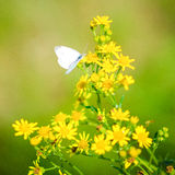 Butterfly on yellow flowers. In summer Royalty Free Stock Images