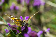 Butterfly. Yellow butterfly on a green field royalty free stock photos