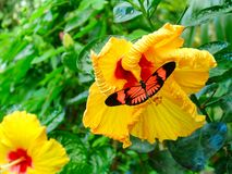 Butterfly on yellow hibiscus. An orange butterfly sits on a fresh yellow hibiscus flower in front of a green background of leaves stock image