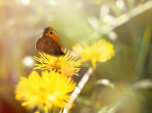 Butterfly on yellow meadow flower Stock Images
