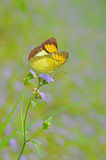Butterfly(The Yellow Orange Tip) Stock Photo