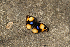 Butterfly, Yellow Pansy  Junonia oenone oenone Royalty Free Stock Photography