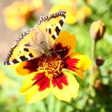 Butterfly on marigold flower Stock Photos