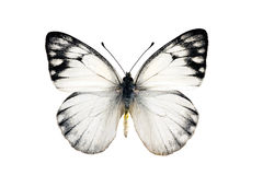Butterfly, Yellow Spotted Jezebel stock images