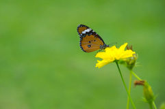 Butterfly on yellow Sunflower Royalty Free Stock Photos