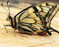 Butterfly. With yellow wings sitting on a wooden board Stock Photography
